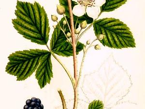 European Dewberry