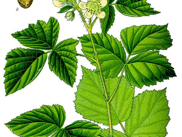 European Dewberry (Rubus Caesius) https://www.sagebud.com/european-dewberry-rubus-caesius/