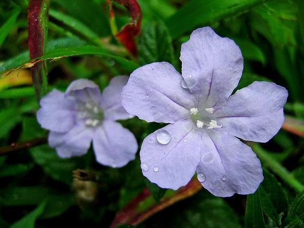 Carolina Wild Petunia (Ruellia Caroliniensis) https://www.sagebud.com/carolina-wild-petunia-ruellia-caroliniensis