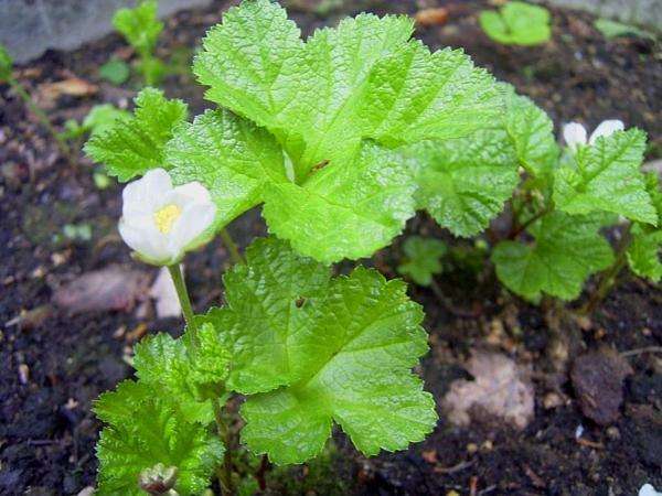 Cloudberry (Rubus Chamaemorus) https://www.sagebud.com/cloudberry-rubus-chamaemorus/