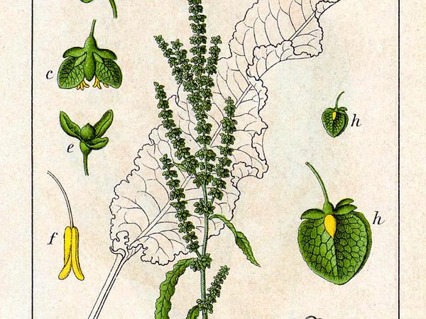 Curly Dock (Rumex Crispus) https://www.sagebud.com/curly-dock-rumex-crispus