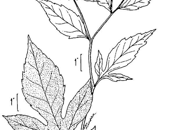 Coneflower (Rudbeckia) https://www.sagebud.com/coneflower-rudbeckia/