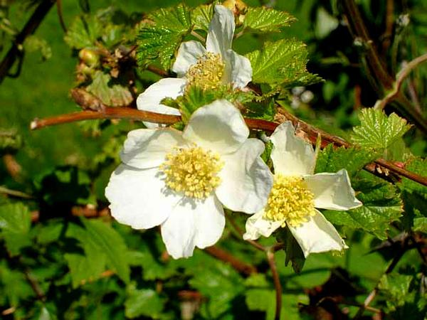 Delicious Raspberry (Rubus Deliciosus) https://www.sagebud.com/delicious-raspberry-rubus-deliciosus