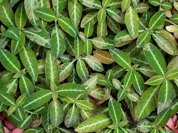 Brazilian Wild Petunia (Ruellia Devosiana) https://www.sagebud.com/brazilian-wild-petunia-ruellia-devosiana/