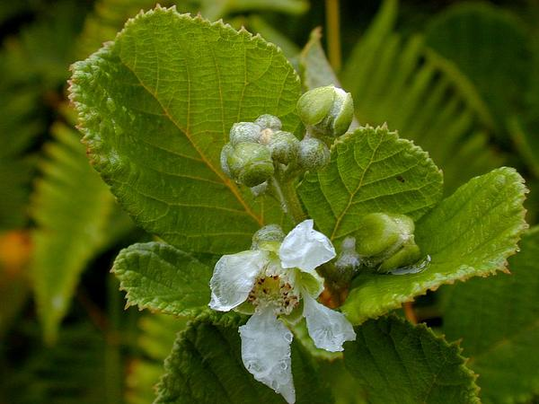 Yellow Himalayan Raspberry (Rubus Ellipticus) https://www.sagebud.com/yellow-himalayan-raspberry-rubus-ellipticus/
