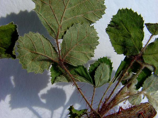 Yellow Himalayan Raspberry (Rubus Ellipticus) https://www.sagebud.com/yellow-himalayan-raspberry-rubus-ellipticus
