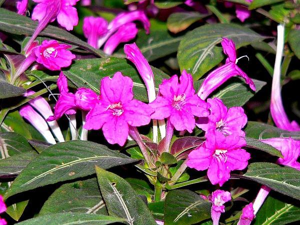 Wild Petunia (Ruellia) https://www.sagebud.com/wild-petunia-ruellia