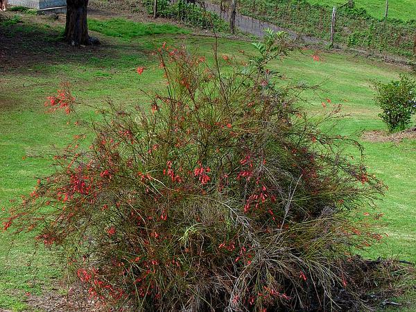 Fountainbush (Russelia Equisetiformis) https://www.sagebud.com/fountainbush-russelia-equisetiformis