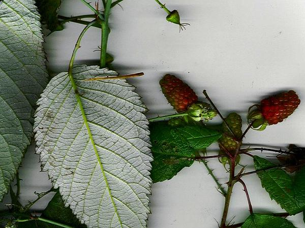 Andes Berry (Rubus Glaucus) https://www.sagebud.com/andes-berry-rubus-glaucus