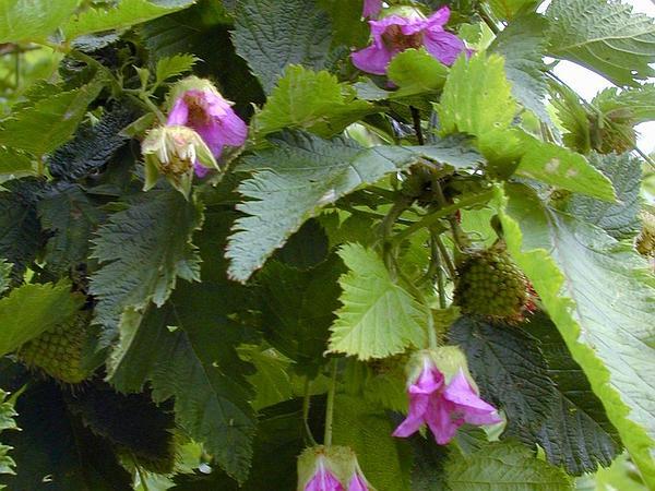 Hawai'I Blackberry (Rubus Hawaiensis) https://www.sagebud.com/hawaii-blackberry-rubus-hawaiensis