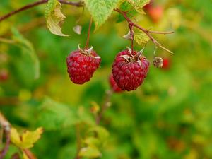 American Red Raspberry