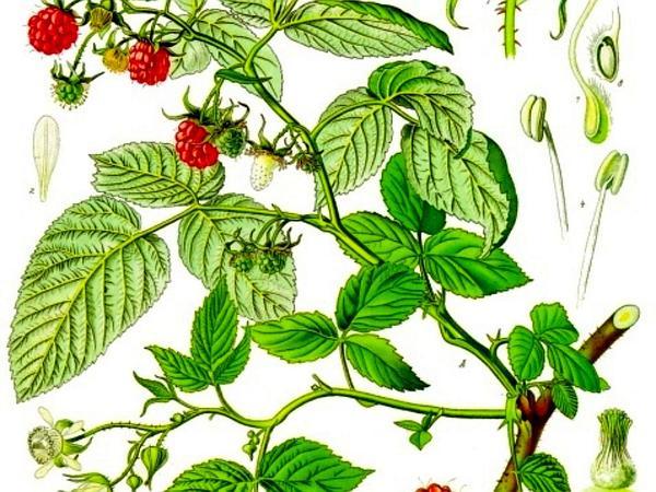 American Red Raspberry (Rubus Idaeus) https://www.sagebud.com/american-red-raspberry-rubus-idaeus