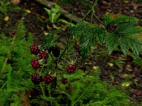 Cutleaf Blackberry (Rubus Laciniatus) https://www.sagebud.com/cutleaf-blackberry-rubus-laciniatus/