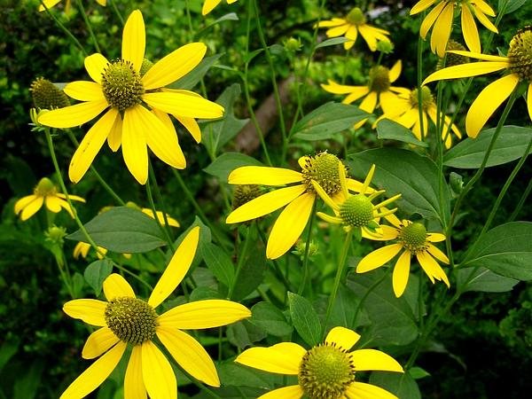 Cutleaf Coneflower (Rudbeckia Laciniata) https://www.sagebud.com/cutleaf-coneflower-rudbeckia-laciniata/
