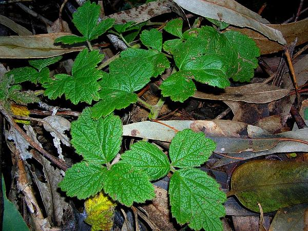 'Akala (Rubus Macraei) https://www.sagebud.com/akala-rubus-macraei