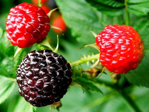 Black Raspberry (Rubus Occidentalis) https://www.sagebud.com/black-raspberry-rubus-occidentalis/