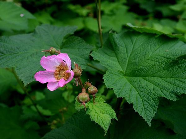 Purpleflowering Raspberry (Rubus Odoratus) https://www.sagebud.com/purpleflowering-raspberry-rubus-odoratus