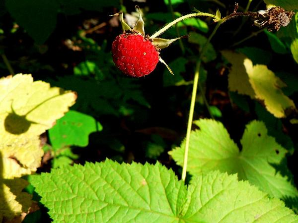 Thimbleberry (Rubus Parviflorus) https://www.sagebud.com/thimbleberry-rubus-parviflorus/
