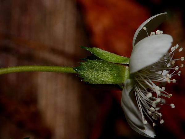 Strawberryleaf Raspberry (Rubus Pedatus) https://www.sagebud.com/strawberryleaf-raspberry-rubus-pedatus/