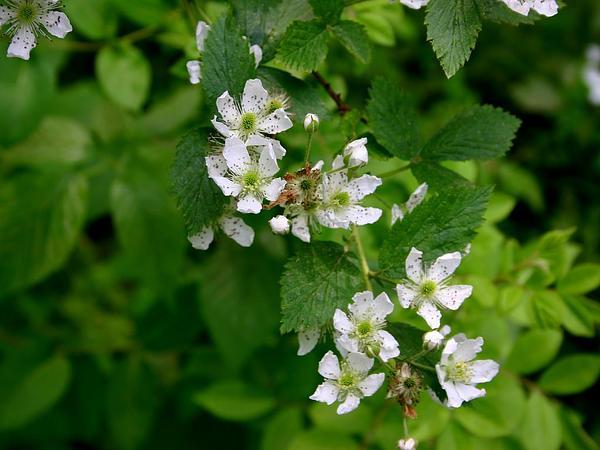 Pennsylvania Blackberry (Rubus Pensilvanicus) https://www.sagebud.com/pennsylvania-blackberry-rubus-pensilvanicus