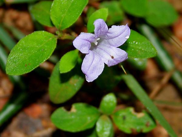 Prostrate Wild Petunia (Ruellia Prostrata) https://www.sagebud.com/prostrate-wild-petunia-ruellia-prostrata/