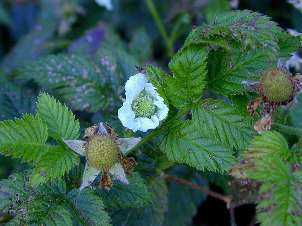West Indian Raspberry (Rubus Rosifolius) https://www.sagebud.com/west-indian-raspberry-rubus-rosifolius/