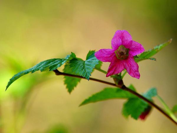 Salmonberry (Rubus Spectabilis) https://www.sagebud.com/salmonberry-rubus-spectabilis
