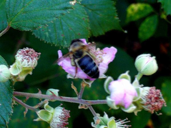 Elmleaf Blackberry (Rubus Ulmifolius) https://www.sagebud.com/elmleaf-blackberry-rubus-ulmifolius/
