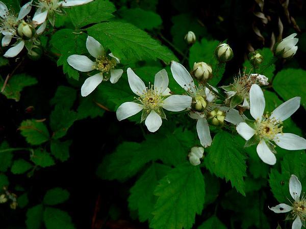 California Blackberry (Rubus Ursinus) https://www.sagebud.com/california-blackberry-rubus-ursinus