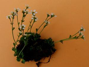 Wedgeleaf Saxifrage