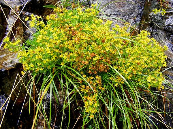Yellow Mountain Saxifrage (Saxifraga Aizoides) https://www.sagebud.com/yellow-mountain-saxifrage-saxifraga-aizoides