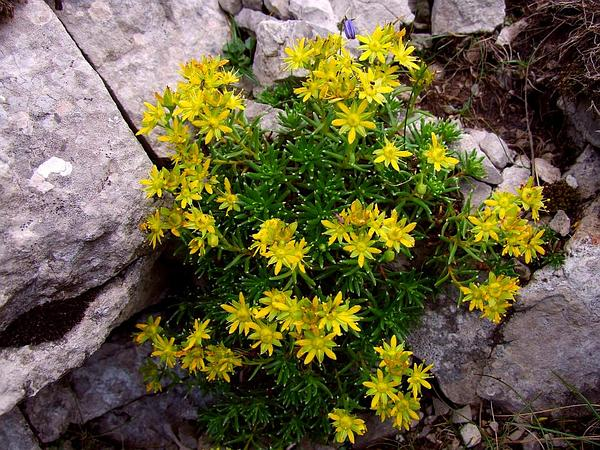 Yellow Mountain Saxifrage (Saxifraga Aizoides) https://www.sagebud.com/yellow-mountain-saxifrage-saxifraga-aizoides