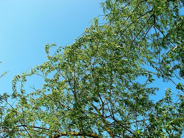 White Willow (Salix Alba) https://www.sagebud.com/white-willow-salix-alba