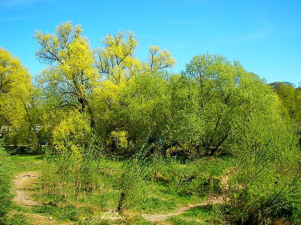 White Willow (Salix Alba) https://www.sagebud.com/white-willow-salix-alba