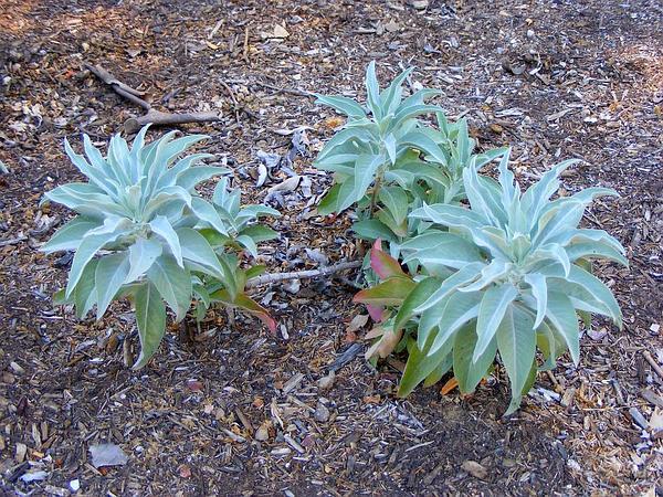 White Sage (Salvia Apiana) https://www.sagebud.com/white-sage-salvia-apiana