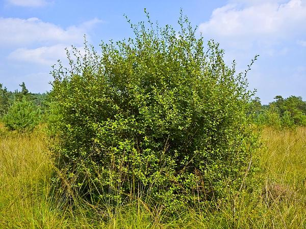 Eared Willow (Salix Aurita) https://www.sagebud.com/eared-willow-salix-aurita