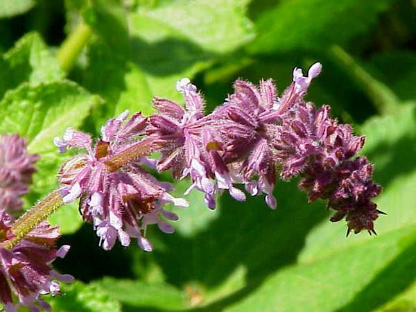 Azure Blue Sage (Salvia Azurea) https://www.sagebud.com/azure-blue-sage-salvia-azurea/