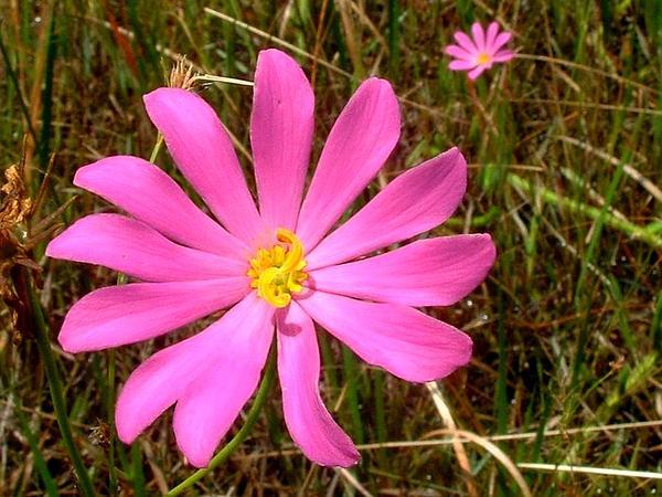 Rose Gentian (Sabatia) https://www.sagebud.com/rose-gentian-sabatia/
