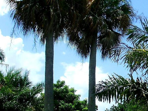 Puerto Rico Palmetto (Sabal Causiarum) https://www.sagebud.com/puerto-rico-palmetto-sabal-causiarum/