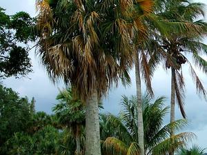 Puerto Rico Palmetto
