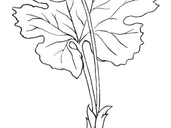 Bloodroot (Sanguinaria Canadensis) https://www.sagebud.com/bloodroot-sanguinaria-canadensis