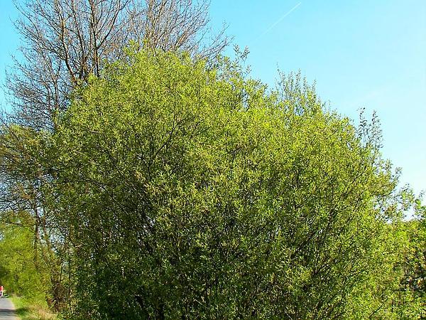 Goat Willow (Salix Caprea) https://www.sagebud.com/goat-willow-salix-caprea