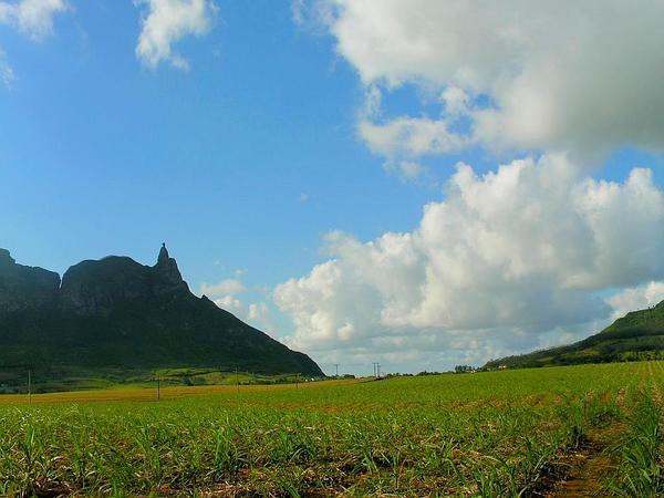 Sugarcane (Saccharum) https://www.sagebud.com/sugarcane-saccharum