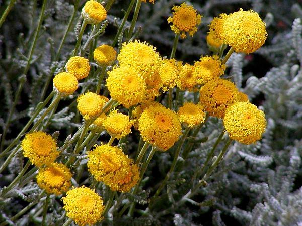 Lavender Cotton (Santolina Chamaecyparissus) https://www.sagebud.com/lavender-cotton-santolina-chamaecyparissus