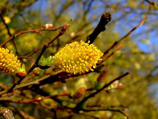 Large Gray Willow (Salix Cinerea) https://www.sagebud.com/large-gray-willow-salix-cinerea