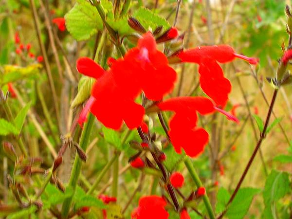 Blood Sage (Salvia Coccinea) https://www.sagebud.com/blood-sage-salvia-coccinea