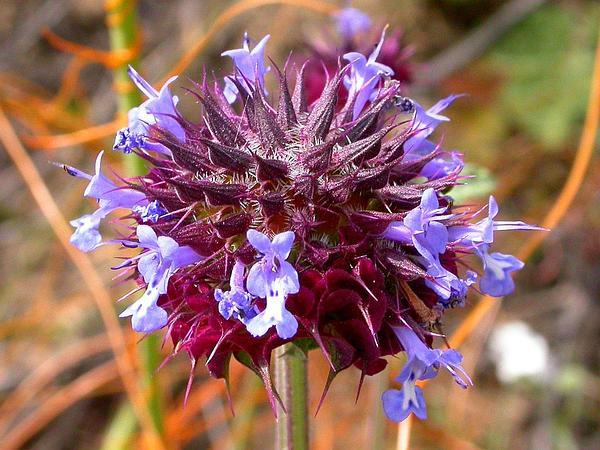 Chia (Salvia Columbariae) https://www.sagebud.com/chia-salvia-columbariae