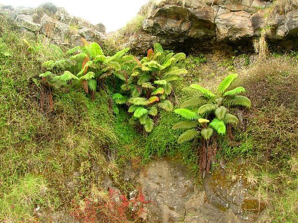 Amaumau Fern (Sadleria Cyatheoides) https://www.sagebud.com/amaumau-fern-sadleria-cyatheoides