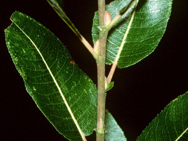 Pussy Willow (Salix Discolor) https://www.sagebud.com/pussy-willow-salix-discolor