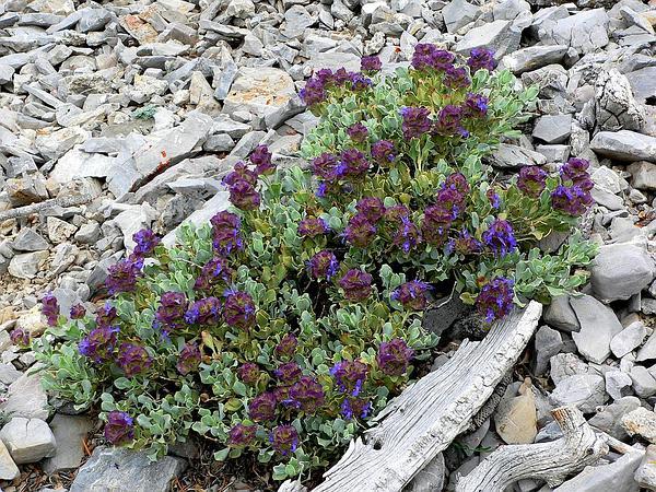 Purple Sage (Salvia Dorrii) https://www.sagebud.com/purple-sage-salvia-dorrii/